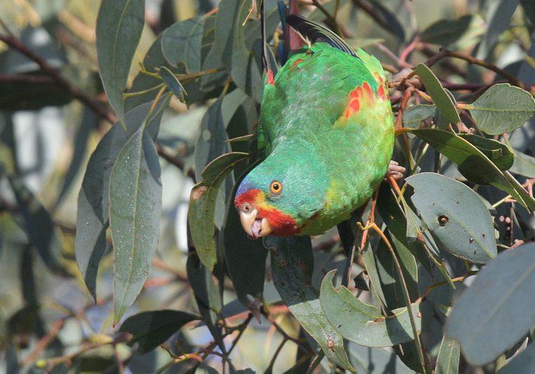 Swift-Parrot-Birdsaspoetry