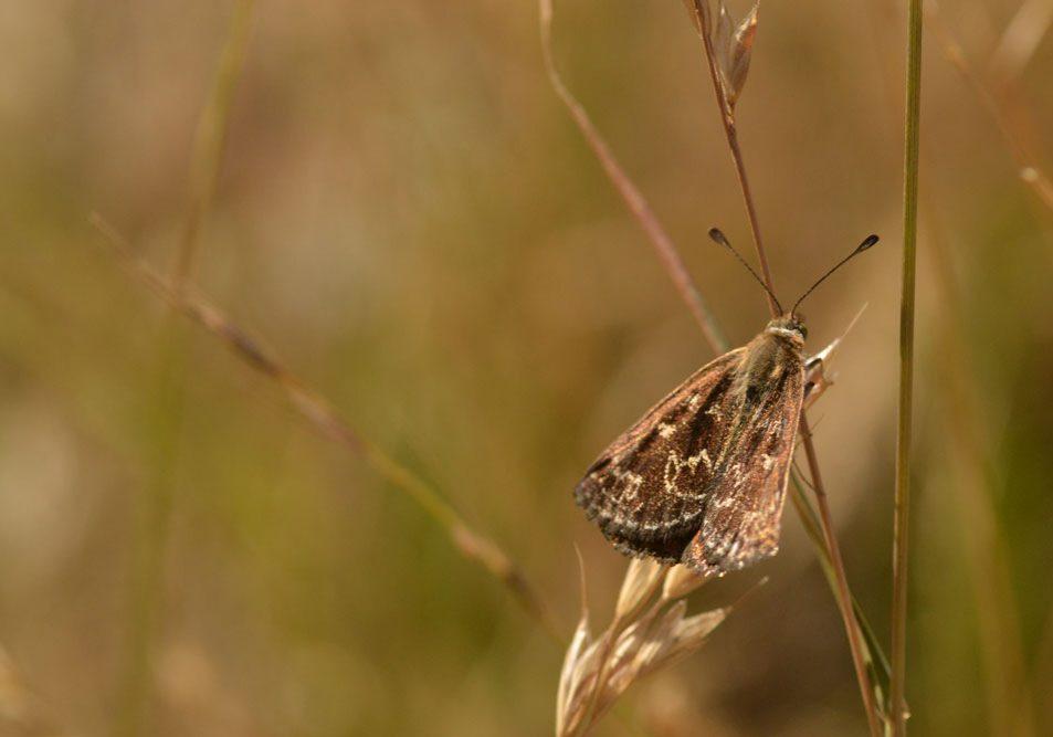 golden-sun-moth
